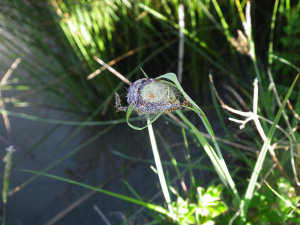 Insect cocoon in glaucous sedge