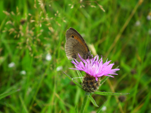 Aberrant Meadow Brown