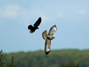 Buzzard, Mobbed by Crow