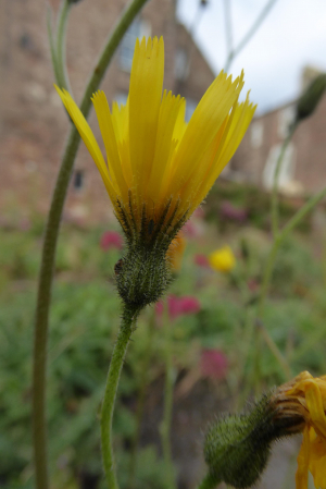 Spotted Hawkweed or Hieracium