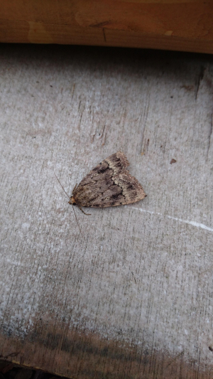 Copper Underwing?