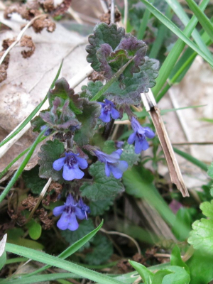 Ground-ivy - Glechoma hederacea