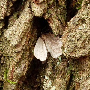 Moth on oak Newton Wood 12Dec18