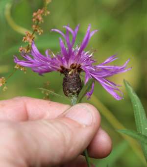 Common Knapweed - rayed form