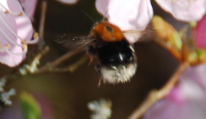Bumble bee feeding on nectar