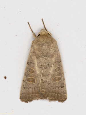 Noctuid moth 20.09.04