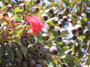 Myrtaceae, but which species?