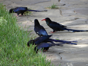 Violet Wood-Hoopoe