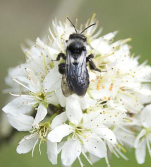 Andrena cineraria, Hampstead Heath