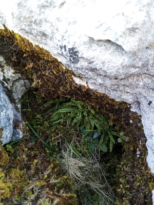 Green Spleenwort