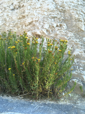 golden -samphire