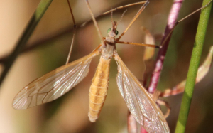 Cranefly - Tioula species probably