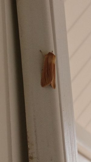 Caramel coloured moth with a fluffy head.