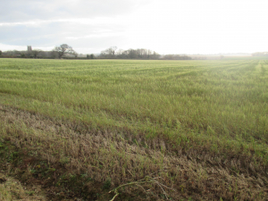 Barley-type winter cover crop?