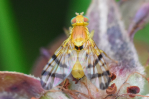 Picture-winged fly - Rhagoletis Alternata