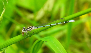 Common blue damselfly and prey