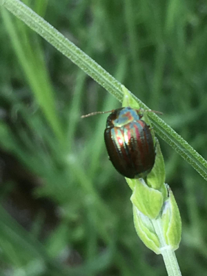 A Beetle of shimmering green and red