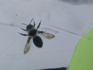 Female Grey Mining Bee (Andrena (Melandrena) cineraria)  - Possibly
