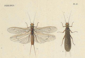 Plecoptera of the British Isles