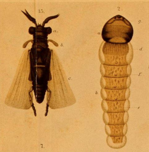 Strepsiptera of the British Isles