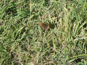 Ringlet = Meadow Brown