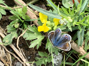 Female - Common Blue