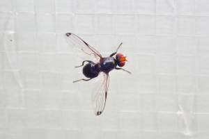 Picture winged fly?