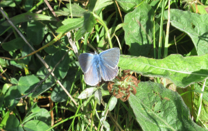 BLUE BUTTERFLY AT GREAT DIXTER SUSSEX