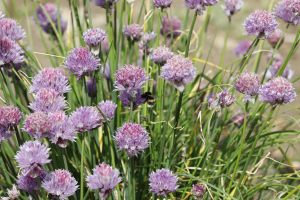 bumble bee on chives