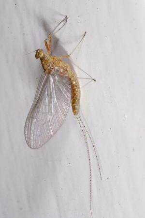 A Mayfly in September