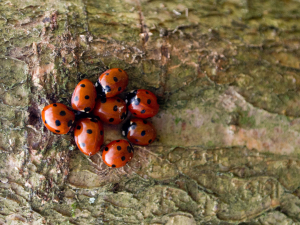 Grouping of 7-spot ladybirds