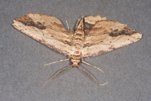 A tatty Waved Umber