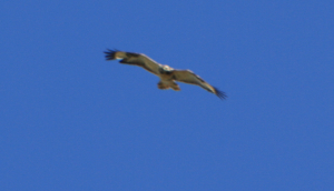 Is This A Common Buzzard ?