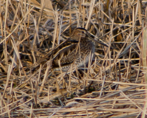 Common Snipe - Gallinago gallinago?