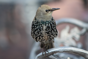 Common Starling?