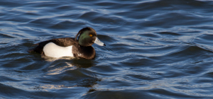 Tufted Duck or Greater Scaup?