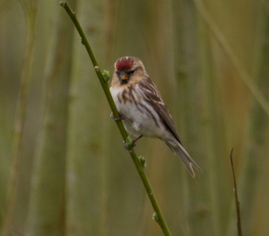 Lesser or Common Redpoll?