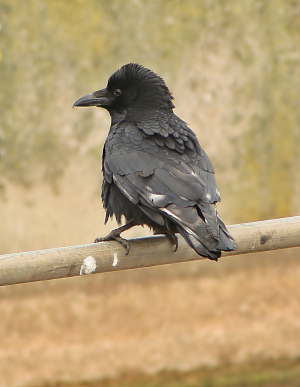 Raven, Rook or Crow ?