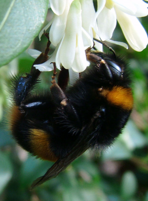 What species of  bee is this please?