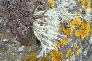 Three lichens