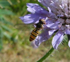 Which Hoverfly?