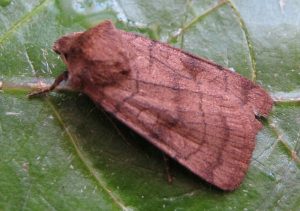 six striped rustic