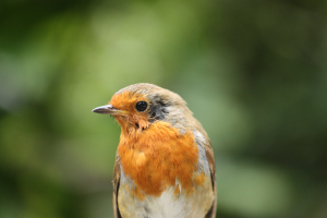 Injured robin