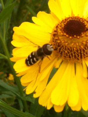 hoverfly species feeding on helenium flower