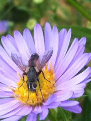 fly on aster flower