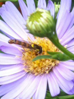 unknown insect feeding on aster  daisey flowers