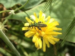 metalic green flower beetle