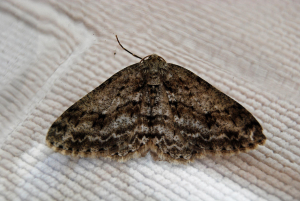 Engrailed or Ringed Carpet