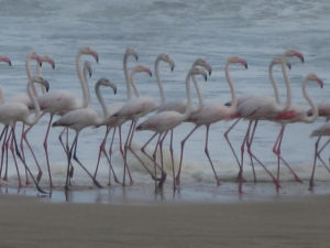 Flamingos on Beach kc
