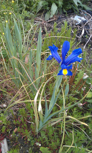 Blue and yellow flower